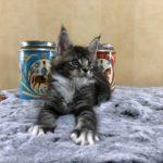 Katt 5 Malte  7v