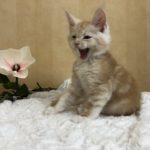 Katt 6 Leo  8v