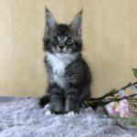 Katt 5 Malte 9v